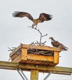 Osprey Nest Restoration DSCN20921.3