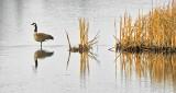 Goose In The Swale DSCN20831