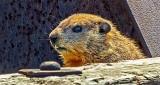Groundhog Profile DSCN21169