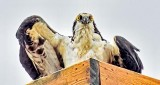 Osprey Starting To Spread Its Wings DSCN21253