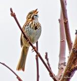 Song Sparrow Singing DSCN21251