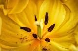 Tulip Center Closeup P1300374-6