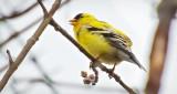 American Goldfinch DSCN21346.8