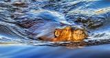Swimming Beaver DSCN22303