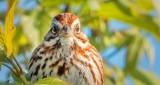 Song Sparrow Staredown DSCN22340