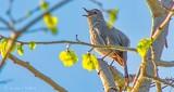 Catbird Calling DSCN22456