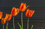 Orange Tulips DSCN22493
