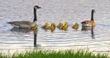 Geese & Goslings DSCN22545