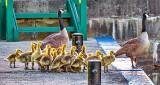 Geese & Goslings P1310471
