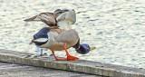 Duck Twerking On A Dock DSCN23413