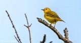 Yellow Warbler DSCN24223