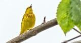 Yellow Warbler Warbling DSCN24552