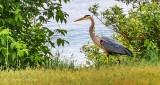 Heron On The Prowl DSCN24603
