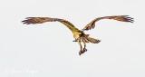 Osprey With Catch DSCN24651