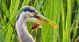 Heron With Breakfast DSCN25918