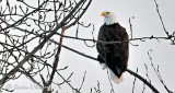 Perched Bald Eagle P1040220