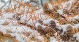 Snowy Tamarack Needles & Cones P1040554
