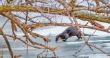 Otter On Ice P1370524