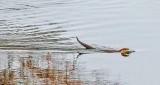 Swimming Otter P1370532
