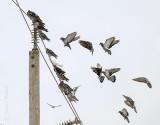 Pigeons Going Online P1050243