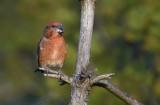 Parrot Crossbill - Stor Korsnæb