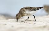 Vadefugle - Shorebirds