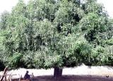 mangue, mango tree, Sénégal
