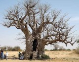 baobab sacré, holy b., Sénégal