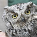 Western Screech-Owl.jpg