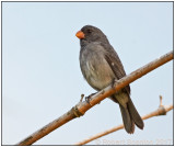 Grey Seedeater.jpg