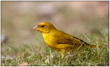 Ornage-fronted Yellow-Finch.jpg