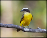 Rusty-margined Flycatcher 3.jpg