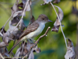 Short-crested Flycatcher 2.jpg