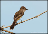 Short-crested Flycatcher.jpg