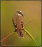 Social Flycatcher 2.jpg