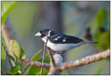 White-naped Seedeater.jpg