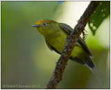 Wire-tailed Manakin imm male.jpg