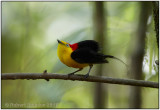 Wire-tailed Manakin.jpg