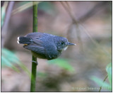 black-chinned antbird female.jpg