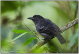 blackish-grey antshrike male 2.jpg