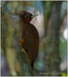 chestnut woodpecker.jpg