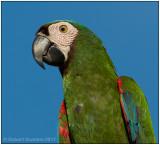 chestnut-fronted macaw portrait.jpg