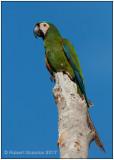 chestnut-fronted macaw.jpg