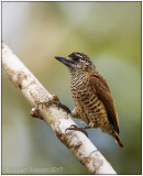 golden-spangled piculet female 2.jpg
