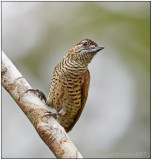 golden-spangled piculet female 3.jpg
