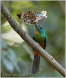 green-tailed jacamar with morpha.jpg