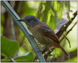 imm blackish grey antshrike.jpg