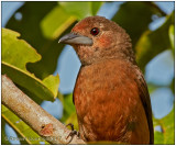silver-beaked tanager female.jpg