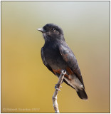 swallow-winged puffbird 2.jpg