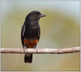 swallow-winged puffbird.jpg
